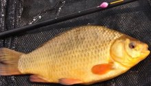 crucian carp fishing tips