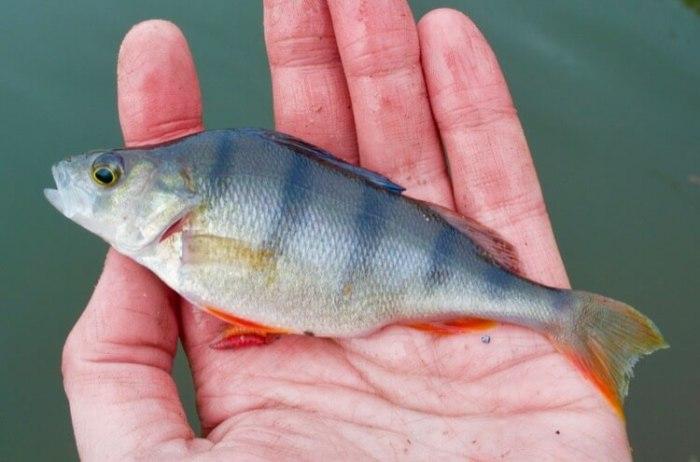 canal fishing perch