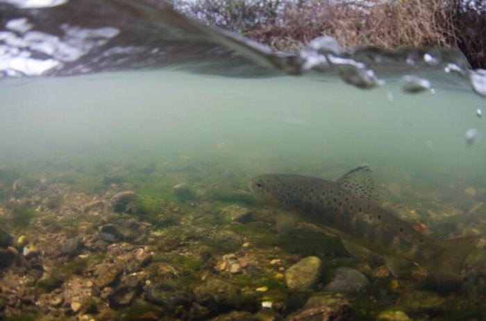 fly fishing Derbyshire brown trout