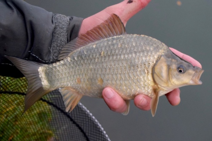 F1 carp fishery management advice tips angling trust