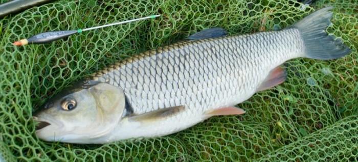 Chub baits fishing how to catch